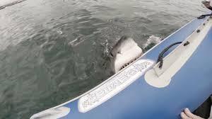 great white shark attacks boat. Perfect Shark Great White Shark Attacks Inflatable Boat Terrifying Tourists In White Shark Attacks Boat