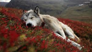 If you're in search of the best wolf wallpapers, you've come to the right place. Cool Pc Wallpapers Hd Wolf Page 1 Line 17qq Com
