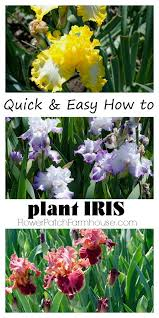 Small Picture Best 25 Iris garden ideas on Pinterest Iris flowers Bearded