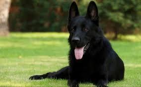 black german shepherd puppies with blue eyes. Brilliant Shepherd Black German Shepherd For Puppies With Blue Eyes G
