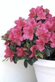 Azalea Size Chart How To Care For Azalea In Planters Guide To Growing