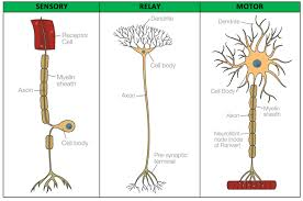 Biopsychology Sensory Relay And Motor Neurons Psychology