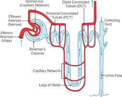 Explain The Sturucture Of Nephron With Diagram Biology