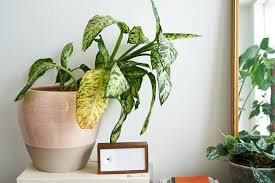 wilted ffenbachia a k a dumb cane due to overwatering photo invinciblehouseplants com