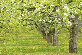 Moonglow Pear Pollination Chart Cross Pollination Pear Trees Which Pear Trees Pollinate