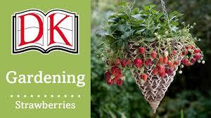 Growing Strawberries In Hanging Baskets