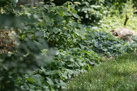 Plant Native Ground Covers Make America Green Again