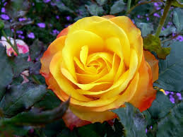 rose hd wallpape yellow rose wallpaper hd