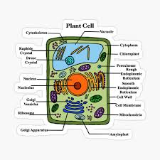 Many plant cell organelles are also found in animal cells. Labeled Plant Cell Diagram Photographic Print By Bundabear Redbubble