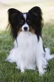 Top 10 Smartest Dog Breeds Most Intelligent Dog Rankings