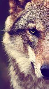 Wolf iPhone Wallpapers - Top Free Wolf ...