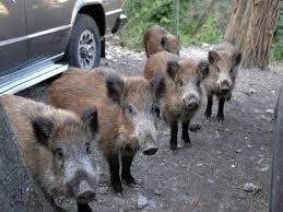 Risultati immagini per animali selvaggi in città italia