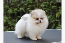pomeranian teacup puppy or husky puppy