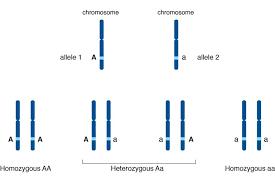 How Do Alleles Determine Traits In Genetics