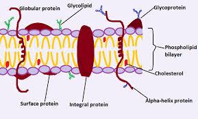 lipopolysaccharides on cell membrane