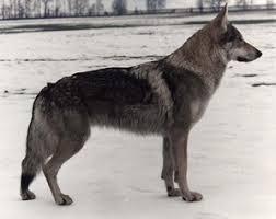 black german shepherd wolf hybrid. Perfect Black Wolf Hybrid Intended Black German Shepherd N