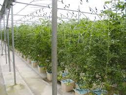 indoor tomato garden. Professional Growing Indoor Tomato Garden F