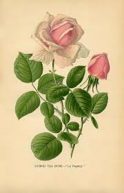 Image result for tea rose