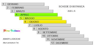 Allium pendulinum [Aglio pendulo] - Flora Italiana
