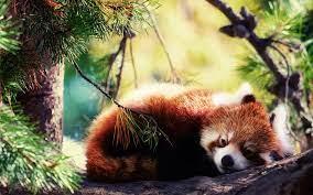 Red panda, Panda wallpapers ...