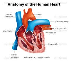 Image result for heart anatomy