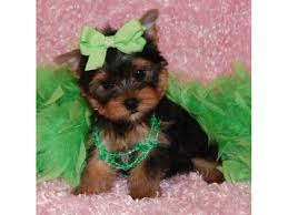 teacup yorkie puppies for adoption. Interesting Teacup Gorgeous Teacup Yorkie Puppies For Adoption To Those Interested For Adoption