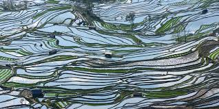 chinese rice field. Perfect Rice Terraced Rice Fields In Yuan Yang Southern China To Chinese Rice Field