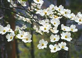 average american flower size flowering dogwood department of horticulture