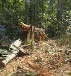 imagem de Seringueiras Rondônia n-13