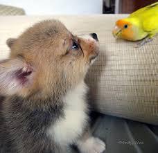 cutest corgi puppy. Simple Puppy Oh Hi For Cutest Corgi Puppy