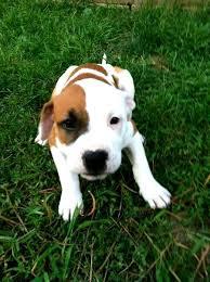 american bulldog pitbull boxer mix. Wonderful American American Bulldog Pitbull Boxer Mix Pin By Nadia Khavari On Furry Friends  Pinterest Inside I