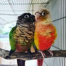 Green Cheek Conure Mutations Queenslander Aviaries