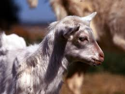 Breeding Cycle For Goats Animals Mom Me