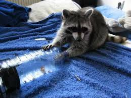 Raccoons In Vending Machine Simple Raccoon Waschbär Molly Subtle Fingers Geschickte Finger YouTube