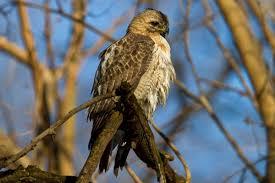 What Is A Hawk Light Pale Male Is A Legend But Is He Still Alive Audubon
