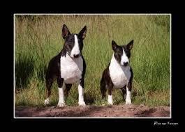 miniature bull terrier vs standard. Perfect Bull Image Result For Miniature Bull Terrier Vs Standard In Miniature Bull Terrier Vs Standard