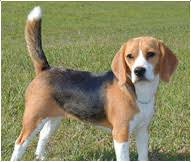 Beagle Dog Breed Facts And Personality Traits Hills Pet