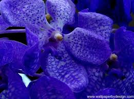 fancy blue orchid photos awesome blue orchid wallpaper pink flower wallpapers