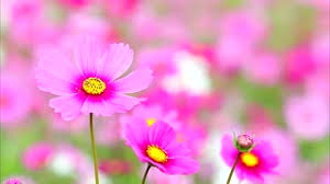 hd picture quality.  Quality 4K Field Of Pink Flowers High Quality Ultra HD 3840x2160 Stock Video  Footage  Videoblocks Intended Hd Picture Quality E