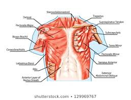 Stomach Muscle Chart Abdominal Muscle Images Stock Photos Vectors Shutterstock