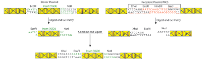 Restriction Enzyme Addgene Plasmid Cloning By Restriction Enzyme Digest With Protocols