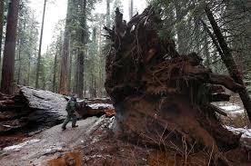 california state parks supervising ranger tony tealdi walks to the fallen pioneer cabin tree at calaveras