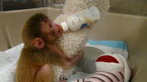 questions raised about mental health stus on baby monkeys at nih labs cbs news