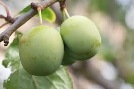 Ash Tree Identification Guide  THE TREE DOCTOR Aka The Plant DoctorGreen Fruit Tree Identification