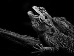 black and white reptile photography. Lizard To Black And White Reptile Photography