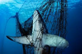 sharks smithsonian ocean portal a thresher shark was killed after becoming stuck in a gillnet