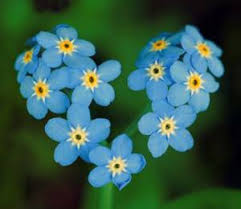 Image result for forget-me-nots
