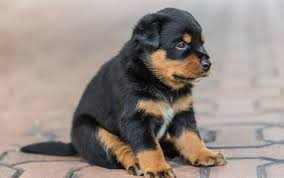rottweiler dog puppy. very cute rottweiler dog pup sitting on floor puppy