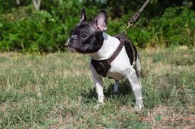 french bulldog harness uk