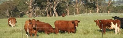 Maine Anjou Cattle International Series